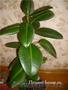 Комнатное растение Фикус (Ficus)