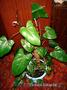 Филодендрон (Philodendron) Комнатное растение