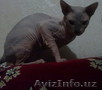Вязка!!! Шикарный сфинкс ждет кошечек на вязку