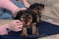 Йоркширского терьера щенки ищут новый дом