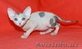 канадский сфинкс-шикарные котята