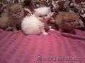 Персидские котятки мальчики и девочки