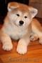 АКИТА-ину щенок (алиментный)