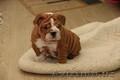 продам английский бульдог щенок