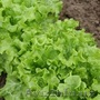 Семена Китано. Предлагаем купить семена салата KS 190 F1