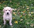 Продается элитный щенок лабрадора ретривера