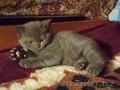 Продам котят скоттиш-страйт