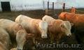 Живой скот: быки,  коровы,  нетели