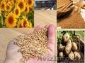 Пшеница из Казахстана от производителя! 2-4 класса