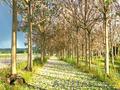 Павловния – это дерево будущего родного края Узбекистан!