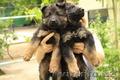 Продаются длинношерстные щенки немецкой овчарки от породных родителей