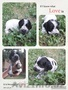 Продаются великолепные щенки русского спаниеля