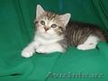 Породистые котята.Скоттиш страйт. - Изображение #2, Объявление #1599323