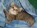 Породистые котята.Скоттиш страйт., Объявление #1599323