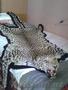 Шкура Леопарда, Объявление #1601285