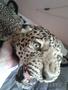 Шкура Леопарда - Изображение #2, Объявление #1601285