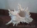 Морская раковина, Объявление #1600780