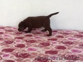 Продаются породистые щенки лабрадора ретривера, цвет- шоколад - Изображение #3, Объявление #1631842