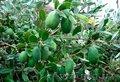 Фейхоа-небольшой вечнозеленый кустарник,  деревце до 3х метров. Неповторимый вкус